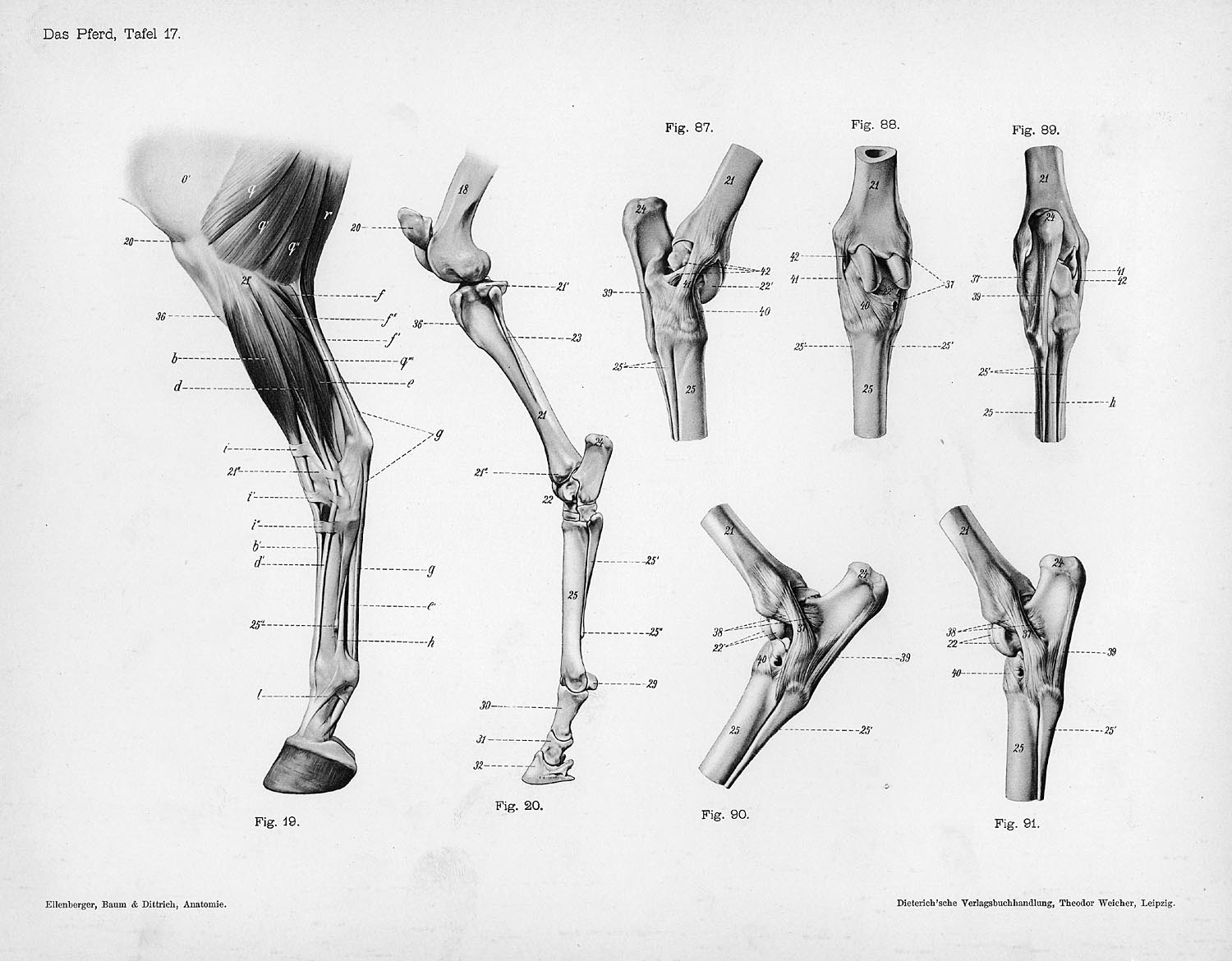 dog hind leg diagram how to create software architecture horse anatomy by herman dittrich  legs shoestring