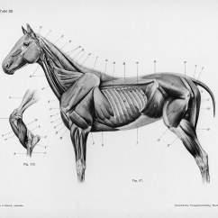 Horse Skull Diagram Nema 14 30p Wiring Anatomy By Herman Dittrich  Full Body Musculature