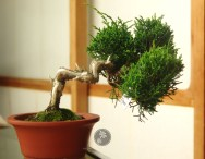 2005. Original bonsai after purchase at Mansei-en.