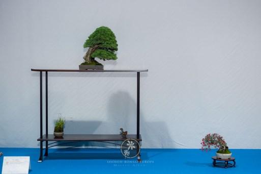 Juniperus chinensis `Itoigawa´ - Bruno Wijman.