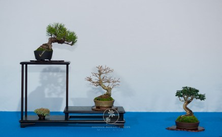 Pinus, Olea, Premna - Bernard Jaworowicg