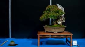 Best European native bonsai, Common Myrtle, Myrtus communis, by Herbert Obermeyer from Germany.