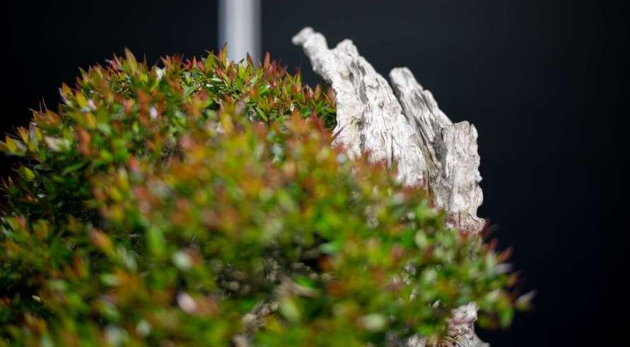 Best European native bonsai, Common Myrtle, Myrtus communis, by Herbert Obermeyer from Germany.