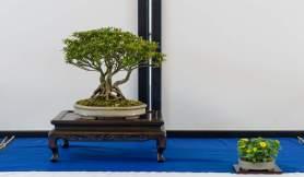 Lene Scheid. Rhododendron Nakaharae.