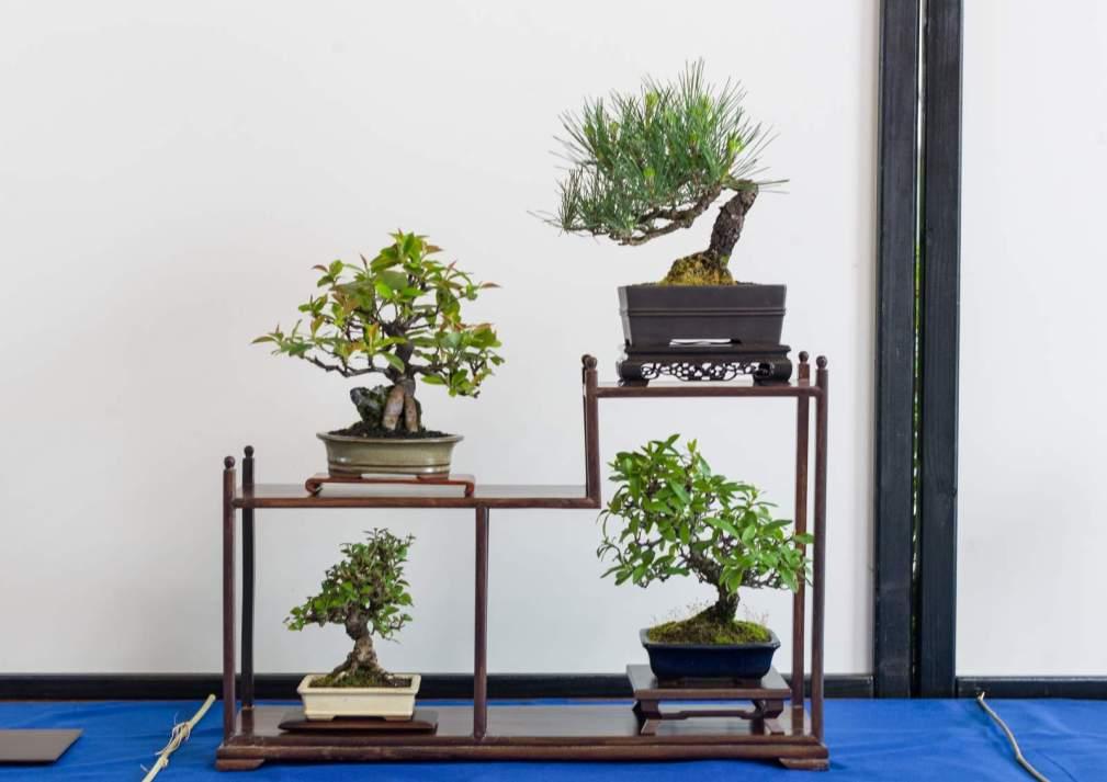 Jesper Kristensen. Pinus thunbergii, Juniperis chinensis, Pseydocydonia sinensis, Pyrachanta.