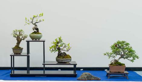 Torben Pedersen, Shohin bonsai.
