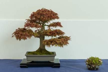 Årets løvfældende bonsai. Johnny Eslykke. Acer palmatum.
