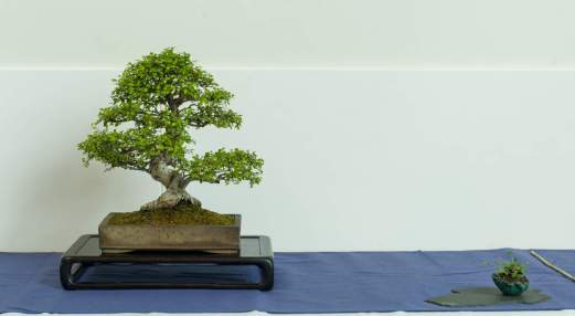 Ole Clæfer. Ulmus parvifolia.