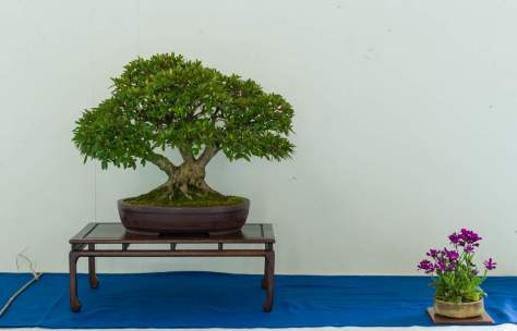 Rüdiger Scheid. Rhododendron Nakaharae.