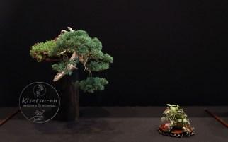 Juniperus chinensis.