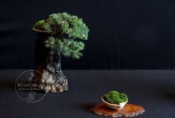 Juniperus communis.