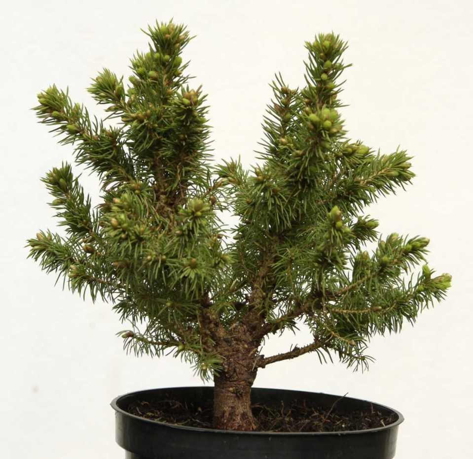 Picea Glauca 1