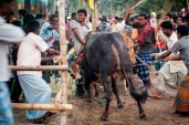 An angry bull charges a potential buyer, while people around tries to beat it away.