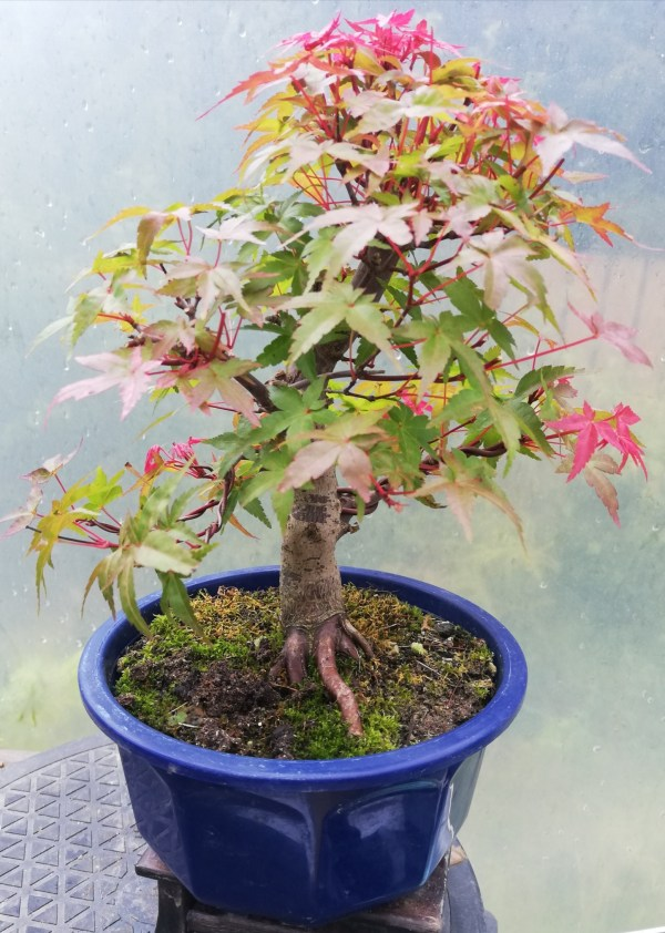 Acer Deshojo Maple Bonsai