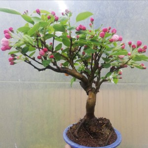 Crab Apple flowering Bonsai Tree