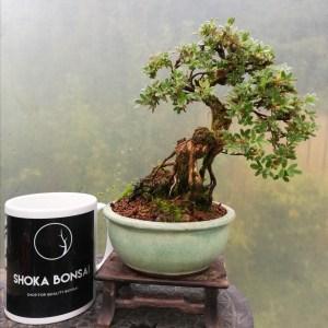 Shohin Potentilla Bonsai tree