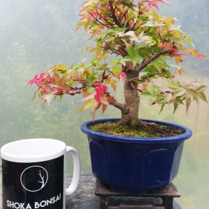 Acer Deshojo Maple Bonsai
