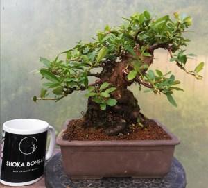 Shoka Pyracantha Bonsai