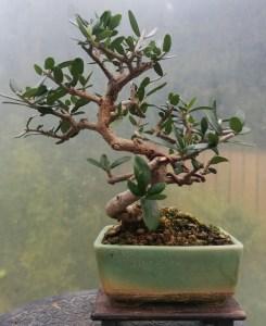 shohin olive Bonsai tree