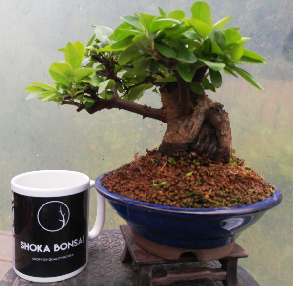 Sumo Pyracantha Bonsai Tree