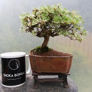 Shohin Potentilla Bonsai