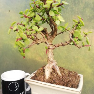 Jade Tree Bonsai Indoor