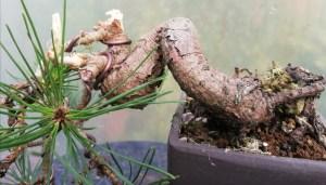 Scots Pine Shohin Bonsai Tree