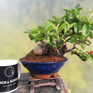 Shohin Pyracantha Bonsai Tree