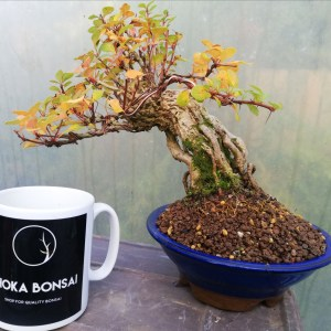 Berberis bonsai tree