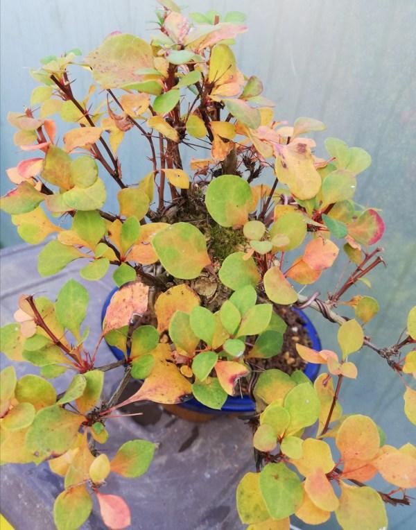 Berberis bonsai tree