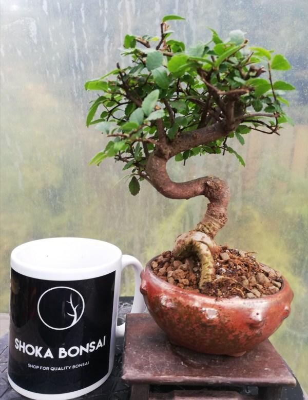 Chinese Elm Bonsai Tree