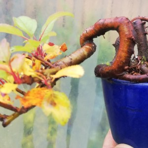 Crab Apple Mini bonsai tree