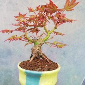Japanese Maple Mini Bonsai Tree