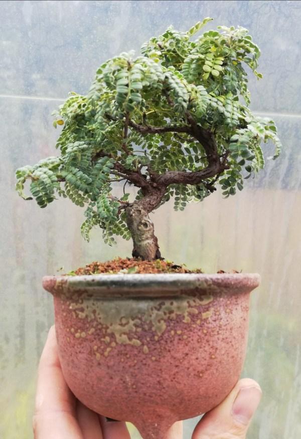 Osteomeles Bonsai tree