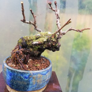 Quince Flowering Bonsai