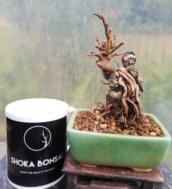 Ficus Bonsai On Rock