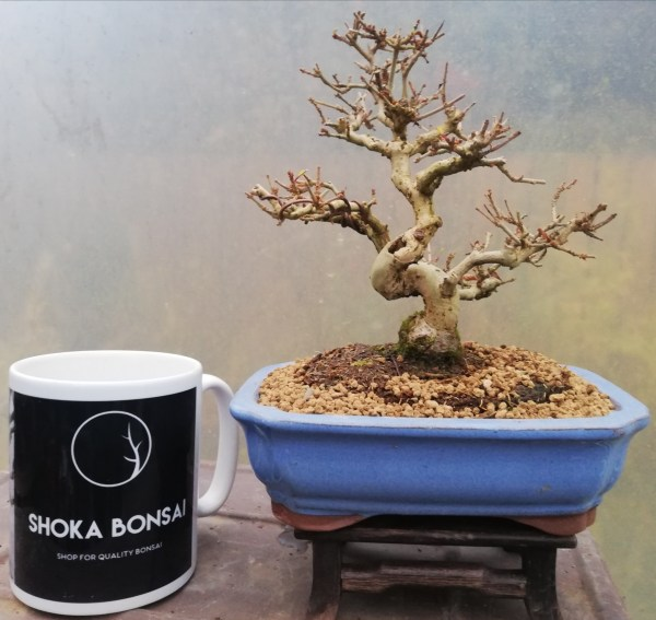 Shohin Chinese Privet Bonsai tree
