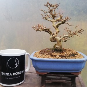 Shohin Chinese Privet Bonsai tree