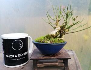 Summer Jasmine small bonsai tree