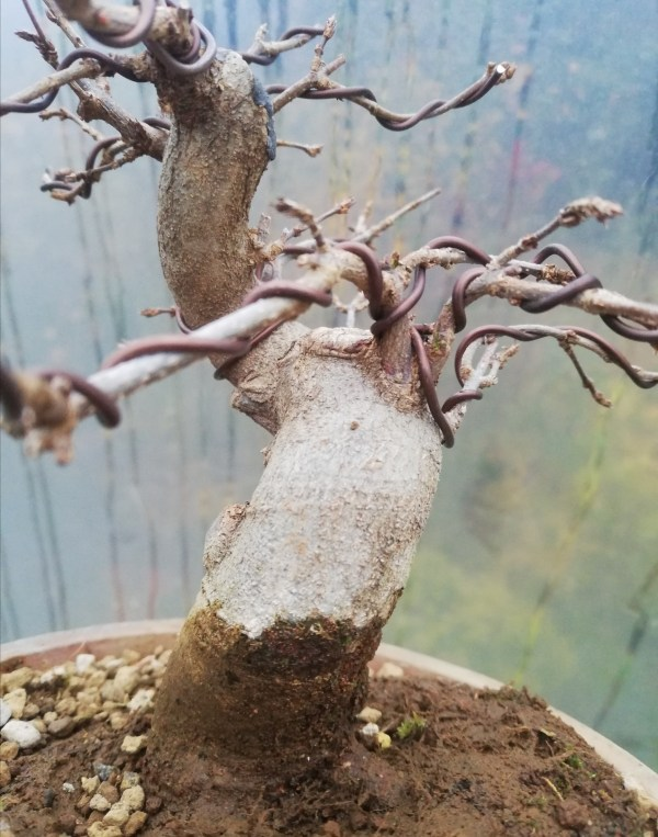 Shohin Trident Maple Bonsai tree