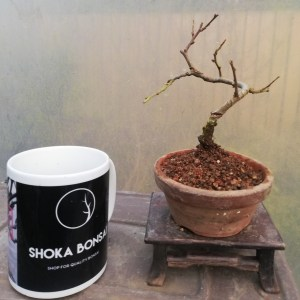 Chojubai Bonsai Starter Plant