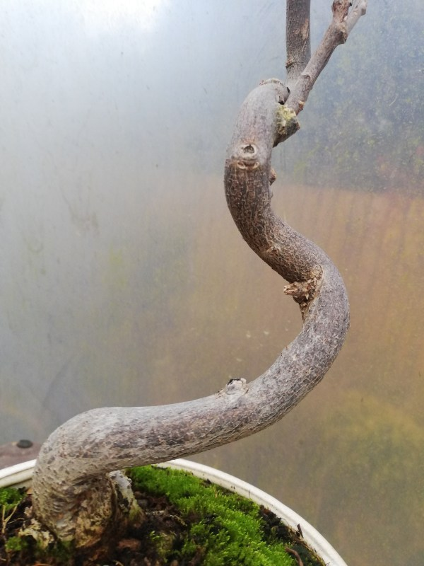Wisteria Flowering Bonsai Tree