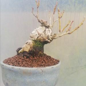 Forsythia Shohin Bonsai Tree