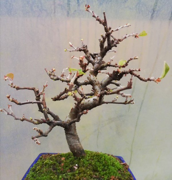 Pseudocydonia Chinese Quince Bonsai