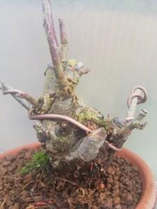 Crab Apple Bonsai Starter Tree