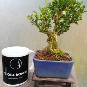 Buxus Harlandii Shohin Bonsai