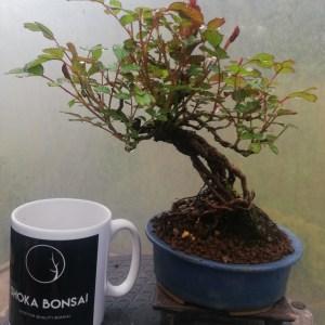 Dwarf Rose Shohin Bonsai Tree