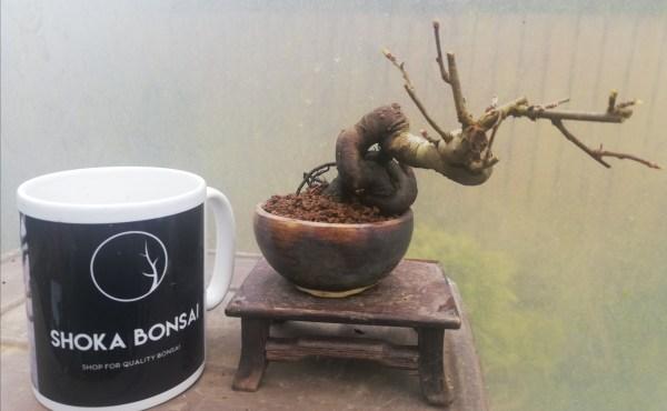 Japanese Crab Apple Bonsai Tree