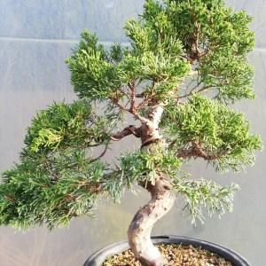 New Juniper Itiogawa Bonsai Tree