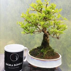 Premna Japonica Musk Maple Bonsai Tree